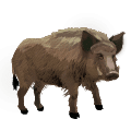 Wild hog illustration