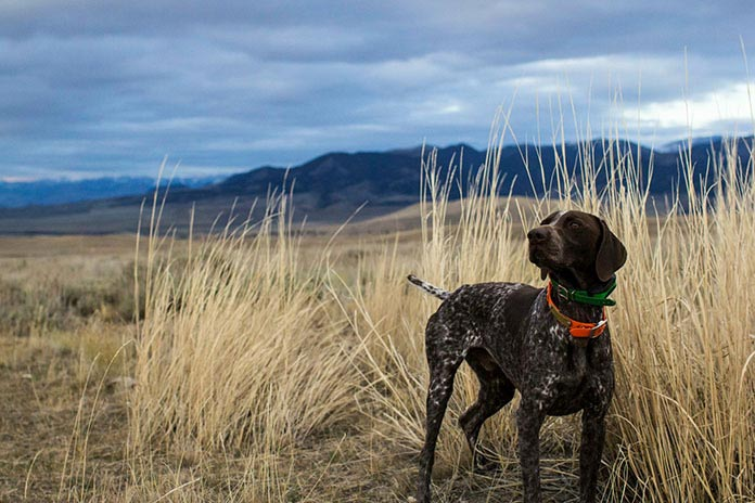 https://mk0huntingsmartavaka.kinstacdn.com/wp-content/uploads/2020/07/hunting_dog_with_radio_tracking_collar_standing_in_long-grass.jpg