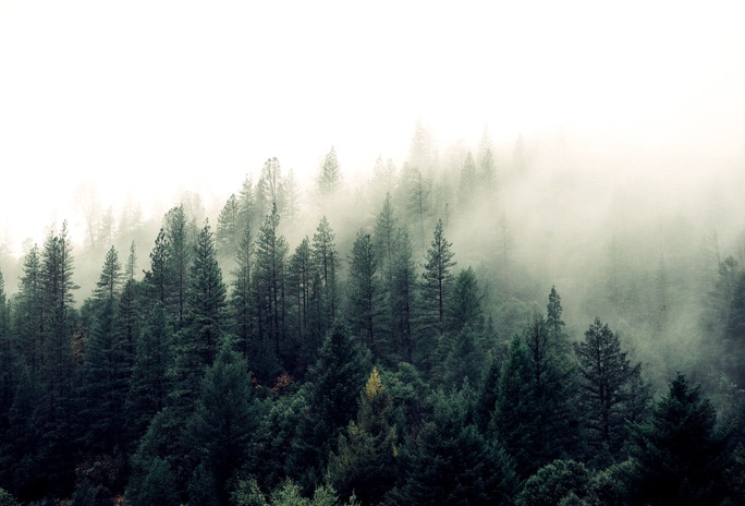 Mist settling over tree tops in forest